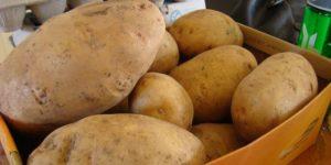 Как правильно хранить картофель в квартире Хранение сверхраннего картофеля Хранение сверхраннего картофеля Kak pravilno hranit kartofel v kvartire