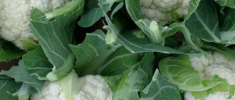 Фото на тему: как хранить цветную капусту  Кешью cauliflower 330x140