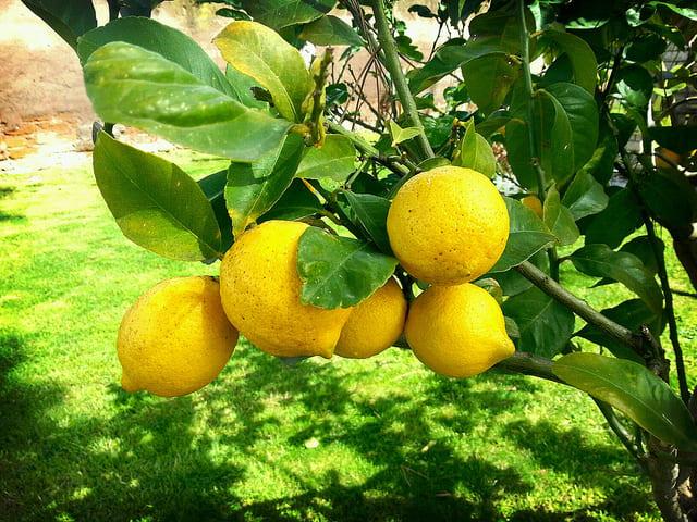 kak-hranit-lemon-02 Как хранить лимон Как хранить лимон: все способы в вопросах и ответах kak hranit lemon 02