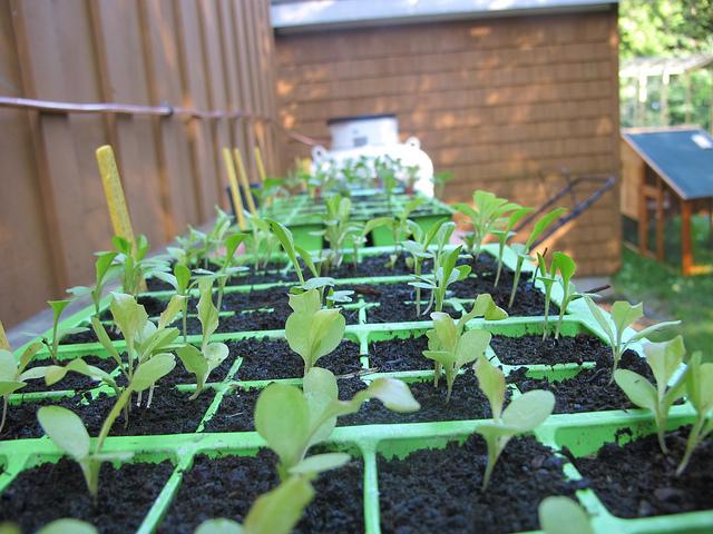 Брюссельская капуста: выращивание и уход Брюссельская капуста: выращивание и уход brussels sprouts 1