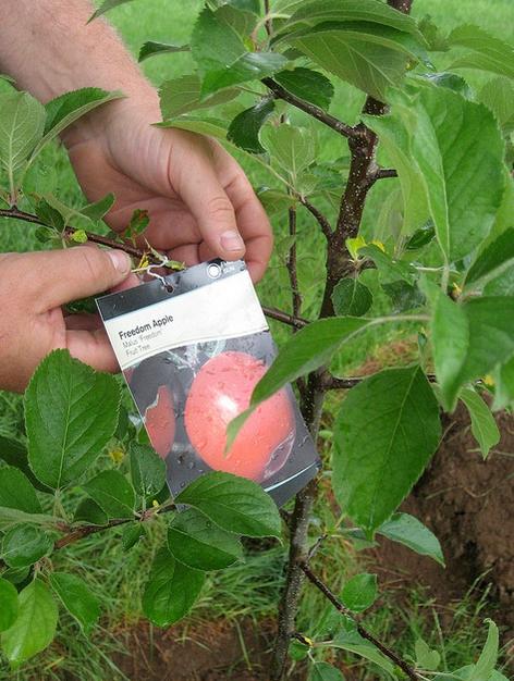 Как хранить саженцы яблони до посадки Как хранить саженцы яблони до посадки apple tree before planting
