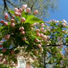 Яблоня: обработка — опрыскивание весной Яблоня: обработка — опрыскивание весной Яблоня: обработка — опрыскивание весной apple tree spraying 135x135