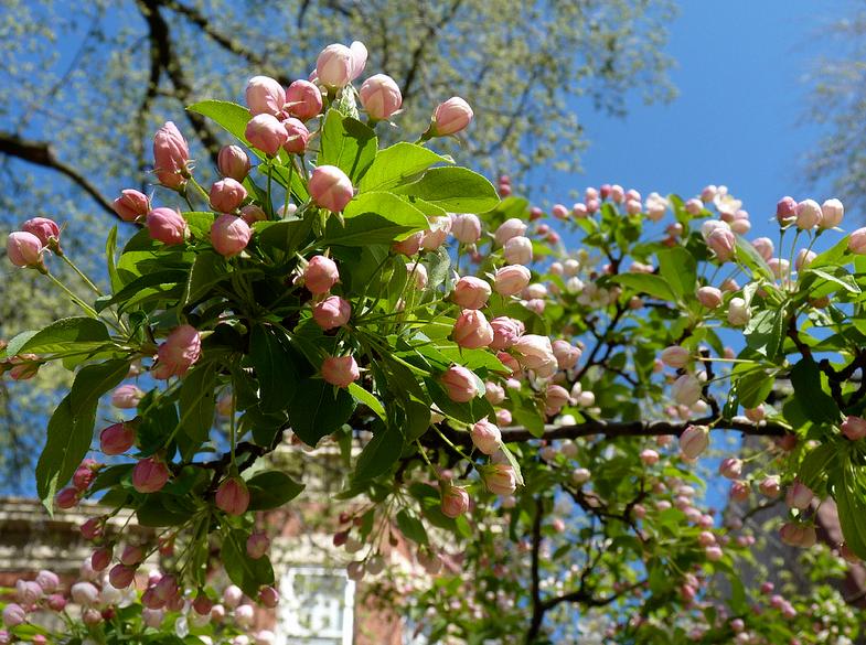 Яблоня: обработка — опрыскивание весной