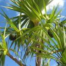 Банановая пальма: как сохранить зимой Банановая пальма: как сохранить зимой banana palm 135x135