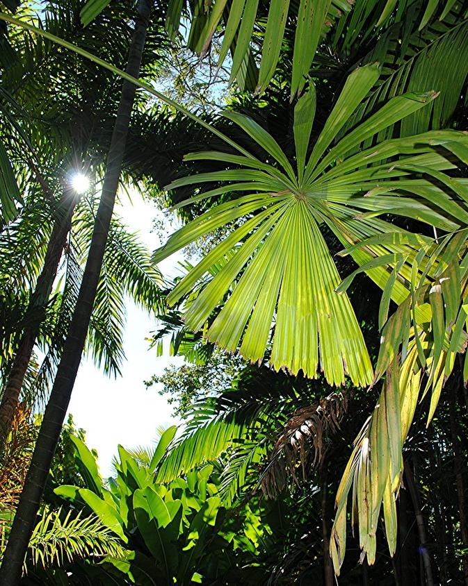 banana-palm-2 Банановая пальма: как сохранить зимой Банановая пальма: как сохранить зимой banana palm 2
