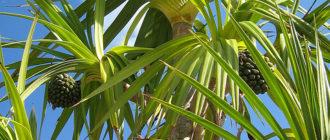 Банановая пальма: как сохранить зимой Банановая пальма: как сохранить зимой Банановая пальма: как сохранить зимой banana palm 330x140