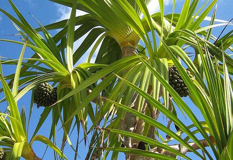 Банановая пальма: как сохранить зимой Банановая пальма: как сохранить зимой banana palm 480x330