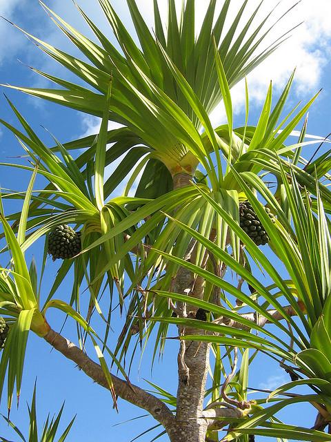 Банановая пальма: как сохранить зимой Банановая пальма: как сохранить зимой banana palm