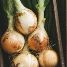 хранить лук Лук репчатый: все способы хранения в квартире и на даче how to store onion 135x135