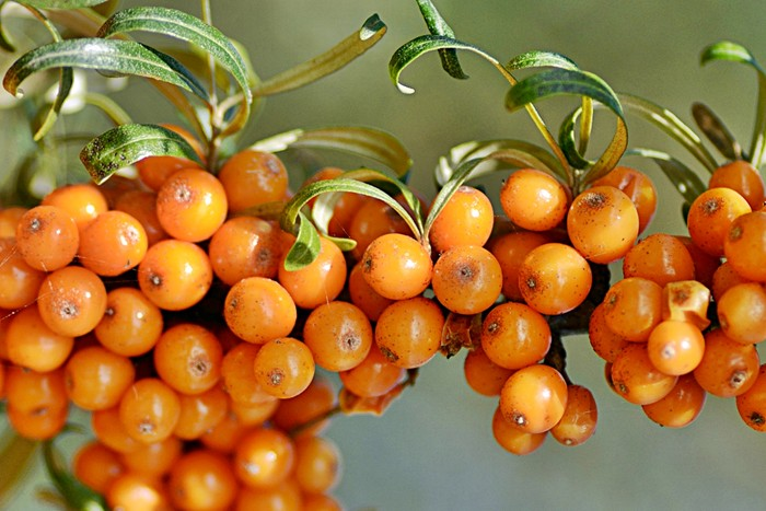 Клубника sea buckthorn