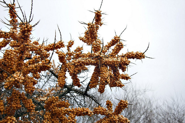 Защита облепихи Защита облепихи Защита облепихи Protection of sea buckthorn