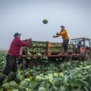 cabbage harvest-min