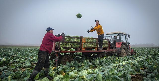 Капуста в условиях непогоды cabbage harvest min 640x330