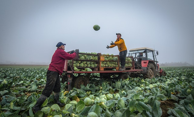 Капуста в условиях непогоды cabbage harvest min