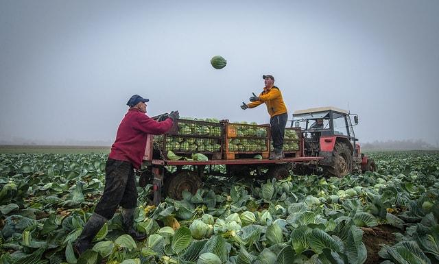 Капуста в условиях непогоды  Капуста в условиях непогоды cabbage harvest min