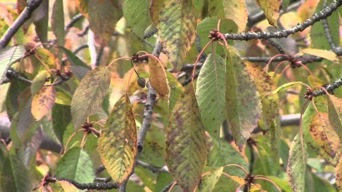 Парша - болезнь черешни  Черешня parsha zazhita chereshni