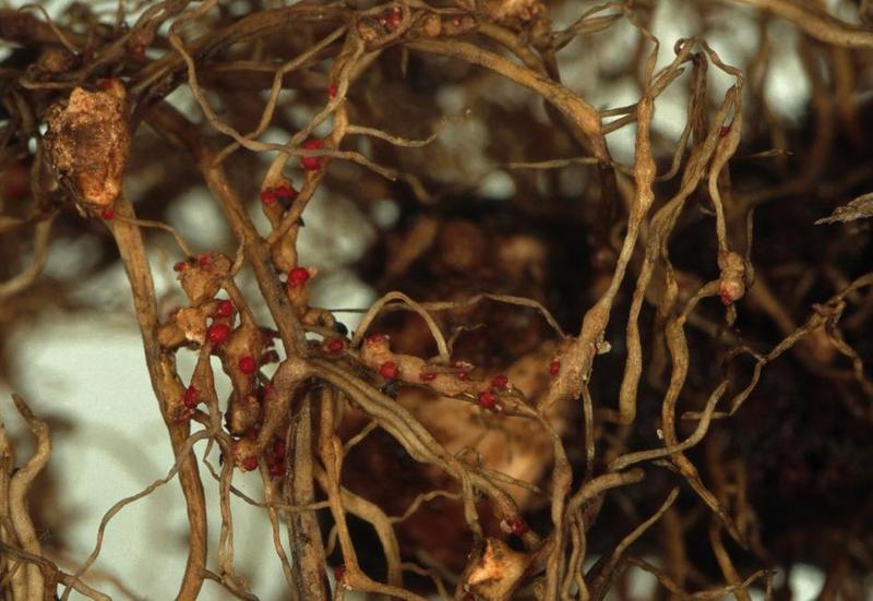 Земляничная нематода  Вредители и болезни клубники zemlyanichnay nematoda