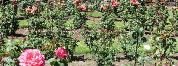 Садовые розы kak hranit rozy na dache 2 350x130