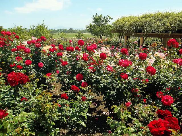 Розы  Розы kak hranit rozy na dache
