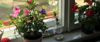 как хранить розы в квартире  Розы kak hranit rozy v kvartire 330x140