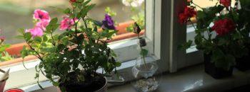 как хранить розы в квартире  Хранение роз дома в вазе и горшках kak hranit rozy v kvartire 350x130