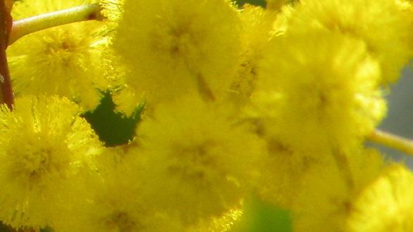 как хранить мимозы  Мимозы kak hranit mimozy 586x330