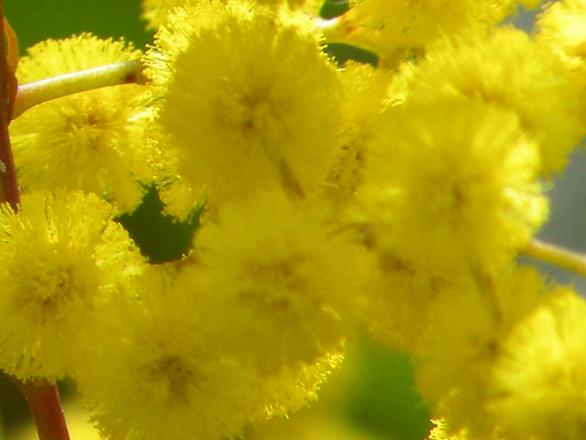 Мимозы  Мимозы kak hranit mimozy