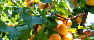 Абрикосы apricots how to store 002 330x140