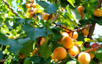 Абрикосы  Главная apricots how to store 002 400x250