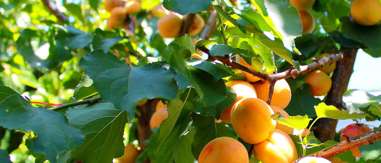 Абрикосы apricots how to store 002 770x330