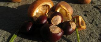Как хранить каштаны зимой для посадки весной  Капуста kak hranit kashtany zimoy 330x140