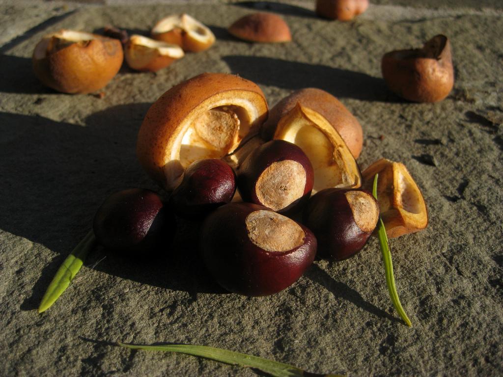 Как хранить каштаны зимой для посадки весной  Кабачки kak hranit kashtany zimoy
