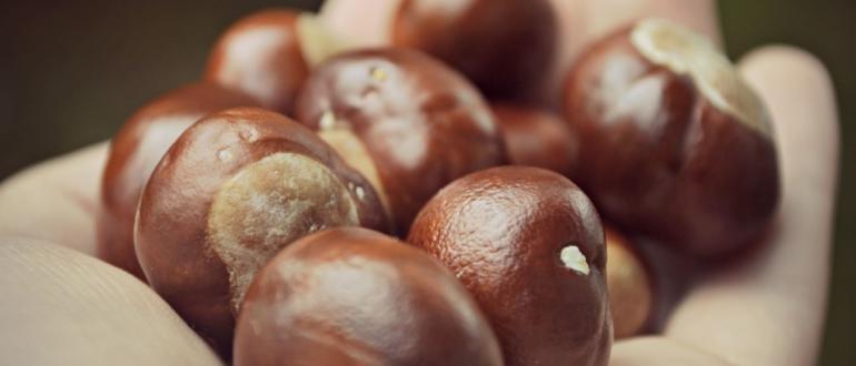 Орехи съедобного каштана kak hranit kashtany 770x330