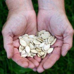 Как хранить пищевые семечки тыквы  Пищевые семечки тыквы kak hranit pizhevye semechki tykvy 256x256