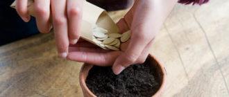 Посевные семена тыквы  Посевные семена тыквы tykva posevnye semena hranenie 330x140