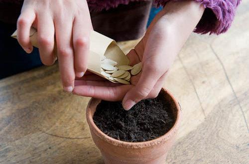 Посевные семена тыквы tykva posevnye semena hranenie 500x330
