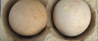 Как хранить яйца цесарки  Яйца мускусной утки cesarka yaytsa 330x140