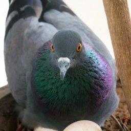 Как голубиные яйца хранить  Голубиные яйца golubinnye yaytsa 256x256