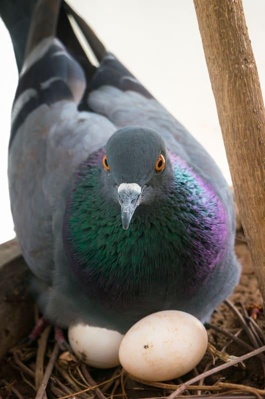 Как голубиные яйца хранить  Голубиные яйца golubinnye yaytsa