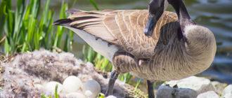 Как хранить гусиные яйца  Как хранить гусиные яйца kak hranit gusinye yaitsa 330x140