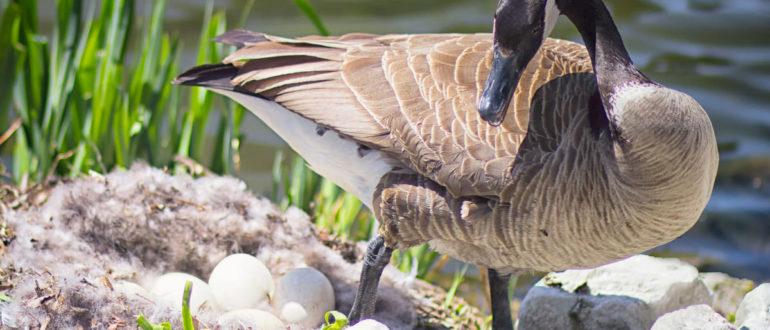 Как хранить гусиные яйца kak hranit gusinye yaitsa 770x330