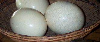 Как хранить страусиные яйца  Страусиные яйца strausinye yaitsa kak hranit 330x140