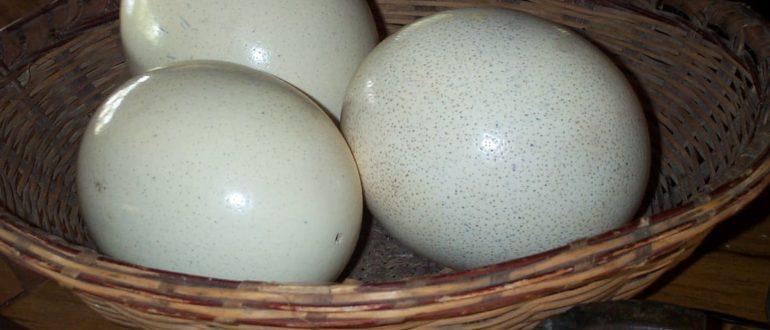 Как хранить страусиные яйца  Страусиные яйца strausinye yaitsa kak hranit 770x330