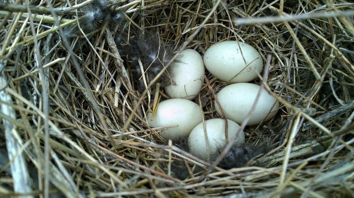 Как хранить утиные яйца  Как хранить утиные яйца для инкубации utinye yaitsa