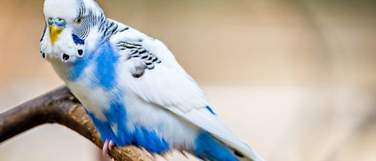 как сохранить яйца волнистых попугаев  Как хранить яйца волнистого попугая для инкубации yaitsa volnistogo popugaiya kak hranit 770x330
