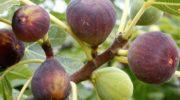 Как сохранить инжировое дерево на зиму  Как сохранить инжировое дерево на зиму kak ukryt inzhir na zimu 180x100